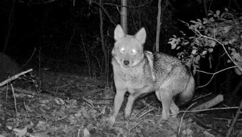 That Howling? Just New York's Neighborhood Coyotes - The