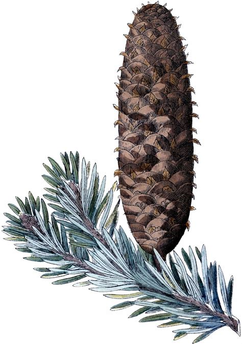 Free Pine Cone Picture - The Graphics Fairy