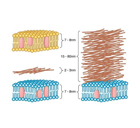 Bacterial Cell Wall Comparison, Artwork Photograph by